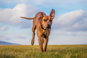 ridgeback dog