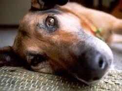 Dog looking at camera: dog sitting service st albans