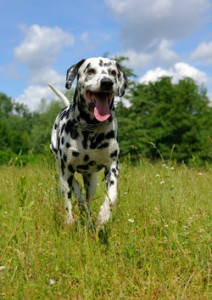 Dog running in long grass: dog walking service st albans
