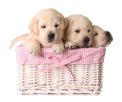Puppies in basket: puppy sitting service st albans